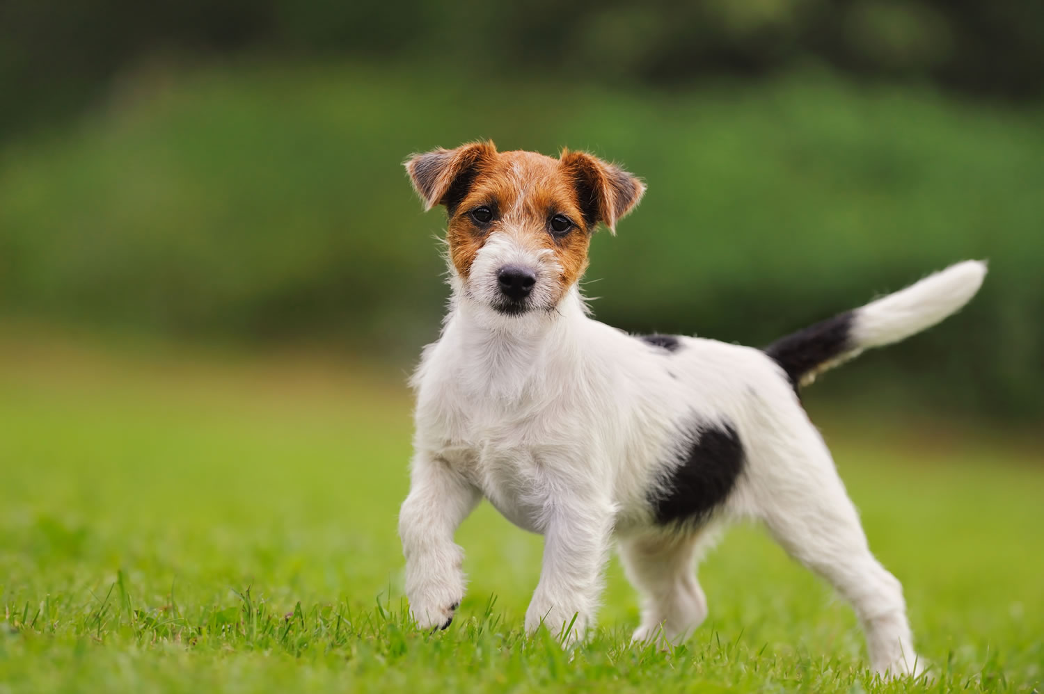 Parson jack russell te...
