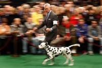 0214-westminster-dog-show_full_600