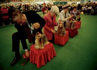 12-terriers-dog-show-615