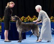 scottish-deerhound-dog-show-1040kk