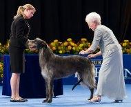 scottish-deerhound-dog-show-1040kk