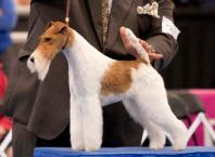 sky-wire-terrier-national-dog-show