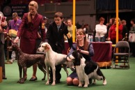 westminister-dog-show-20110065