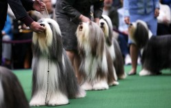 BESTPIX Westminster Kennel Club Dog Show Crowns King Of The Canines