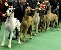 westminster-kennel-club-dog-show-6